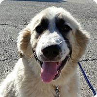 Adopt A Pet :: Urso  ADOPTED - Bloomington, IL