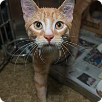 Adopt A Pet :: Gus - New York, NY