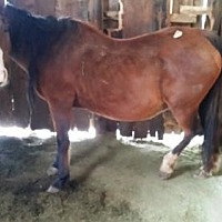 Quarterhorse for adoption in Boone, Colorado - Shanti (Feedlot Mare)