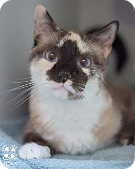 Snowshoe Cat for adoption in Merrifield, Virginia - Tootsie