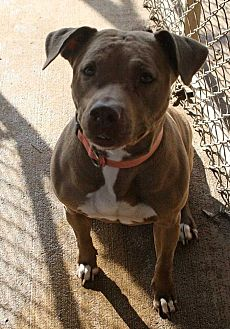 American Bulldog Mix Dog for adoption in Fort Madison, Iowa - Mya