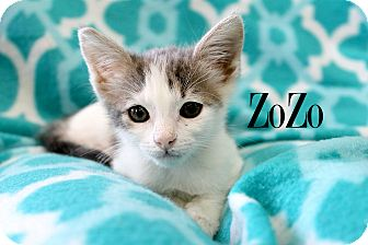Domestic Shorthair Kitten for adoption in Wichita Falls, Texas - ZoZo