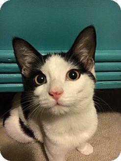 Domestic Shorthair Cat for adoption in Burlington, North Carolina - Cash