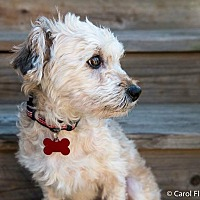 Adopt A Pet :: Poppy - Wethersfield, CT