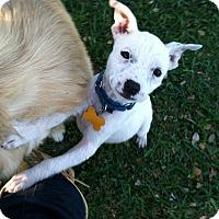 Adopt A Pet :: Adeline - Boerne, TX