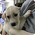 Adopt A Pet :: 'Irish Puppies' Dublin