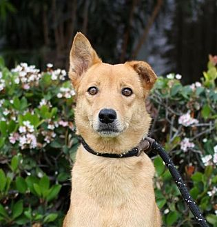 Labrador Retriever/Jindo Mix Dog for adoption in San Diego, California - Scarlett