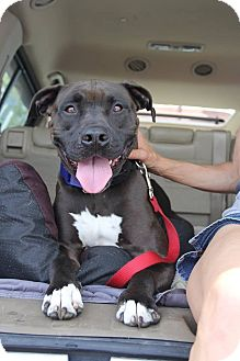 American Pit Bull Terrier Mix Dog for adoption in Baltimore, Maryland - Abraham (Sponsored Adoption)