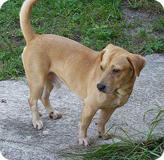 Basset Hound/Labrador Retriever Mix Dog for adoption in Ormond Beach, Florida - Tank