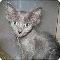 Adopt A Pet :: Lachlan - Davis, CA