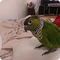 Adopt A Pet :: Yoshi - St. Louis, MO