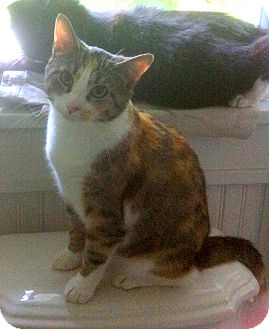 Calico Cat for adoption in Indianapolis, Indiana - Honey