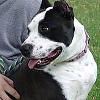 American Staffordshire Terrier Mix Dog for adoption in Sherman Oaks, California - Elsie