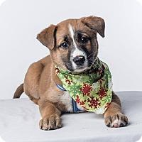 Adopt A Pet :: Harriet - Pitt Meadows, BC