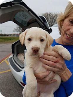 Labrador Retriever/Collie Mix Puppy for adoption in Plano, Texas - Kiley