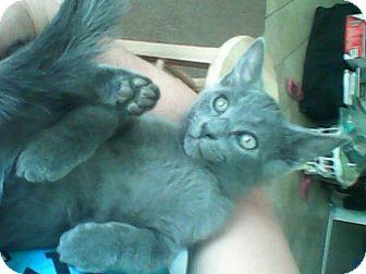 Russian Blue Kitten for adoption in Scottsdale, Arizona - Gizzy (courtesy post)