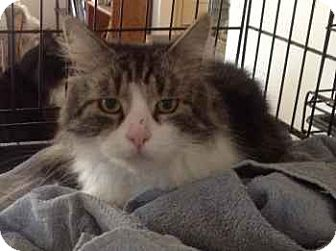 Domestic Mediumhair Cat for adoption in Alamo, California - Dylan
