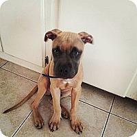 Adopt A Pet :: Boomer - Scottsdale, AZ