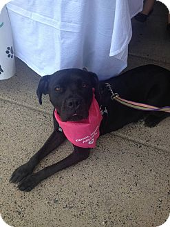 Labrador Retriever/American Bulldog Mix Dog for adoption in Pennsauken, New Jersey - Jada