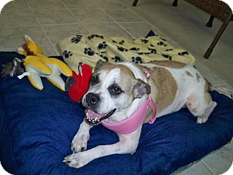 Boxer/American Bulldog Mix Dog for adoption in Huntley, Illinois - Callie