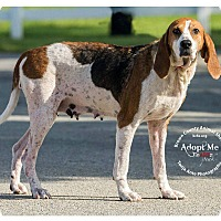 Coonhound (Unknown Type) Mix Dog for adoption in Georgetown, Ohio - Mansi