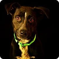 Adopt A Pet :: Precious - Fort Smith, AR