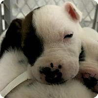 Adopt A Pet :: Beretta - Alpharetta, GA