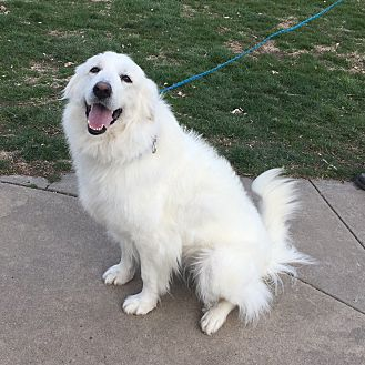 Great Pyrenees Dog for adoption in Bloomington, Illinois - Polly Paws