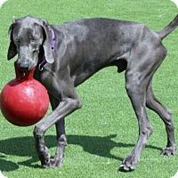 Weimaraner Dog for adoption in Loxahatchee, Florida - Rois