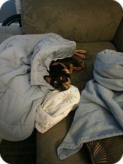 Miniature Pinscher Dog for adoption in staten Island, New York - Molly