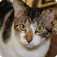 Domestic Shorthair Cat for adoption in Savannah, Missouri - Matthew