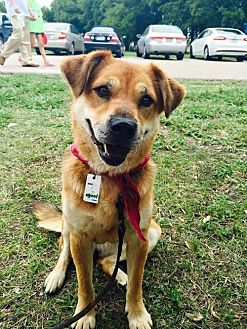 Chow Chow/Shepherd (Unknown Type) Mix Dog for adoption in Clifton, Texas - Ranger