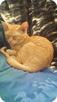 Domestic Shorthair Cat for adoption in San Ramon, California - Venus