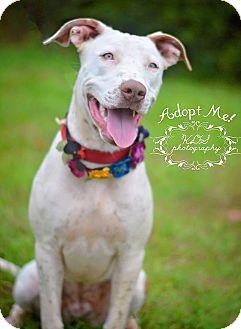 American Bulldog/Labrador Retriever Mix Dog for adoption in Fort Valley, Georgia - Leia