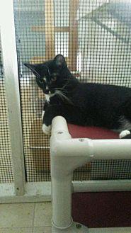 Domestic Shorthair Kitten for adoption in Elk Grove, California - Herman (Heidi's kid)