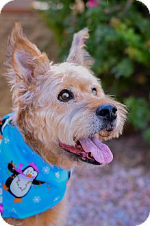Airedale Terrier Dog for adoption in Gilbert, Arizona - Chloe