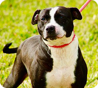 American Staffordshire Terrier Mix Dog for adoption in Baltimore, Maryland - Tulip