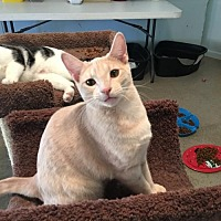 Domestic Shorthair Cat for adoption in Alpharetta, Georgia - Donny