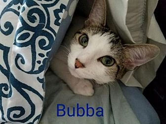 Domestic Shorthair Cat for adoption in Knoxville, Tennessee - Bubba-Male-