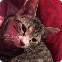 Adopt A Pet :: Abbey - Bayville, NJ