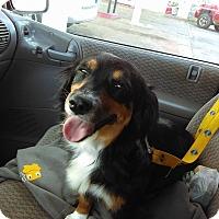 Adopt A Pet :: Cricket - Spring Valley, NY