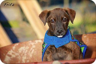 Terrier (Unknown Type, Medium) Mix Puppy for adoption in Wilmington, Delaware - Fritz