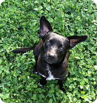 Dachshund Mix Dog for adoption in West Palm Beach, Florida - PICKLES