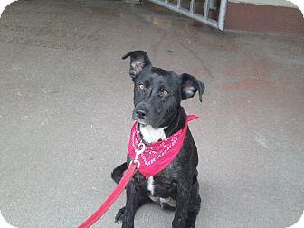 German Shepherd Dog/Labrador Retriever Mix Dog for adoption in Hazard, Kentucky - Nick~Prison Obedience Trained