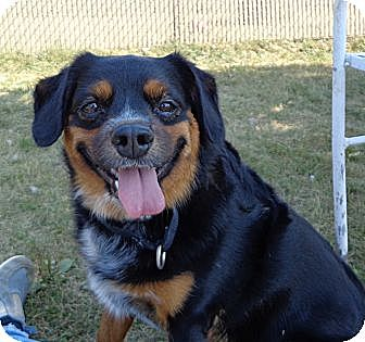 Spaniel (Unknown Type)/Australian Cattle Dog Mix Dog for adoption in Grayslake, Illinois - Patrick