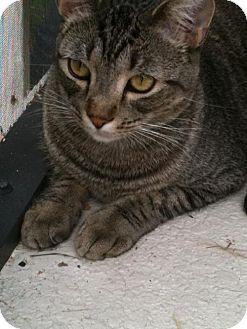Domestic Shorthair Cat for adoption in Orlando, Florida - Tabby Von Cuteness (KLL) 4.14.11