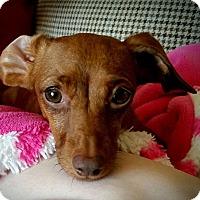 Adopt A Pet :: Daisy - Louisville, CO