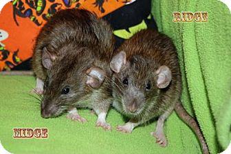 Rat for adoption in Walker, Louisiana - Midge