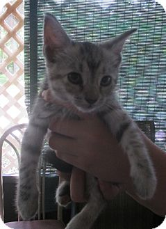 Domestic Shorthair Kitten for adoption in New Smyrna Beach, Florida - Kitty WAmpus