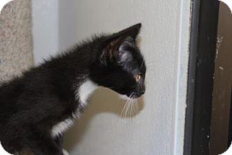 Domestic Shorthair Kitten for adoption in Greensboro, North Carolina - Merlin